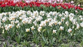 Vele bloemen van witte narcissen en rode tulpen op het bloembed Stock Afbeelding