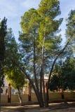 Vele boomstammen van één enkele boom stock afbeelding