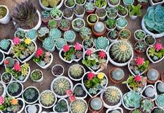 Vele cactussen in potten Stock Afbeeldingen
