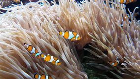 Vele Clownfish en Overzees Anemone Partnership stock footage