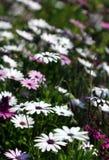Vele dimorphotheca witte en violette bloemen Stock Afbeelding
