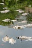 Vele dode vissen dreven in de rivier, watervervuiling Stock Afbeeldingen