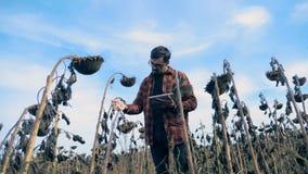 Vele droge zonnebloemen op een gebied Een landbouwer inspecteert zonnebloemen tijdens een droogte, die een tablet houden stock footage