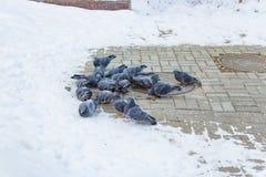 Vele duiven in de sneeuw in de winter stock afbeeldingen