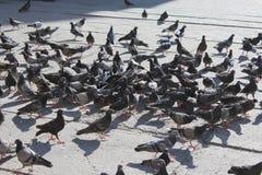 Vele duiven die op de weg voeden royalty-vrije stock fotografie
