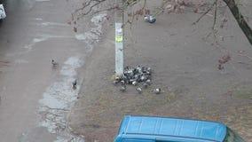 Vele duiven, duiven stock footage