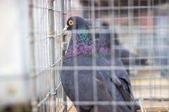 vele duiven in een strakke kooi stock foto's