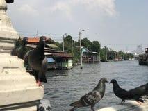 Vele duiven in Khlong-prasri Charoen Bangkok Royalty-vrije Stock Foto's