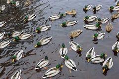 Vele eenden in rivier in de herfst royalty-vrije stock fotografie