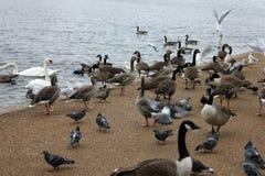Vele eenden, vogels en gooses bij het park van Londen Stock Foto