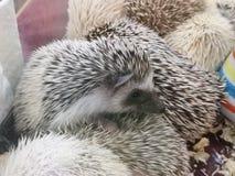 Vele egel op doos, jonge egel, babyegel stock foto