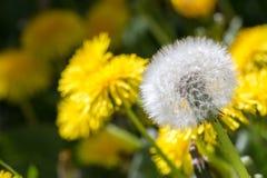 Vele en langzaam verdwenen paardebloemen die bloeien Stock Afbeeldingen