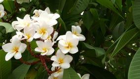 Vele exotische witte bloemen Het bloeien Frangipani Plumeria Leelawadee reeks witte tropische bloemen op groene boom naughty stock footage