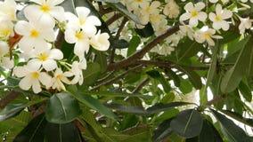 Vele exotische witte bloemen Het bloeien Frangipani Plumeria Leelawadee reeks witte tropische bloemen op groene boom naughty stock video