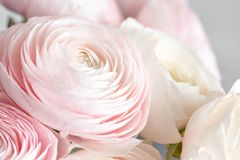 Vele gelaagde bloemblaadjes Perzische boterbloem Bleke bos - roze ranunculus bloemen lichte achtergrond behang, Verticale foto stock fotografie