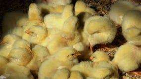 Vele gele kuikens van babykippen in natuurlijk licht stock videobeelden