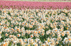 Vele gele narcissen op de lentegebied Royalty-vrije Stock Fotografie