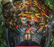 Vele gouden vissen in rivier, Koh Samui Stock Fotografie