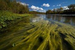 Vele groene algen in de rivier stock foto