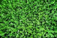 Vele groene bladeren en bloemen van lelietje-van-dalen hoogste mening Achtergrond stock afbeelding
