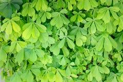 Vele groene bladeren van de kastanje stock afbeelding