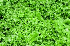 Vele groene bladeren van een installatiesalade stock afbeelding