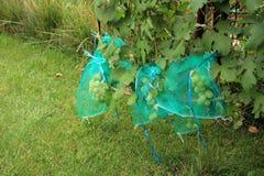 Vele groene druivenbossen in beschermende zakken tegen dama te beschermen Stock Foto's