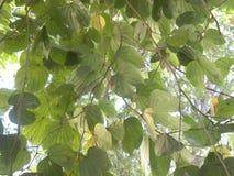 Vele groene en gele kleurenbladeren van boom Stock Foto