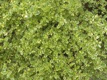 Vele groene en gele kleurenbladeren van Gouden dauwdruppelinstallatie Stock Afbeeldingen
