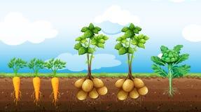 Vele groenten het groeien op het landbouwbedrijf Stock Foto