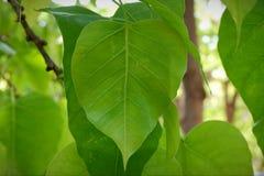 Vele grote groene bladeren royalty-vrije stock foto
