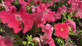 Vele grote rode bloemen in de stad tuinieren stock video