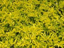 Vele heldere gele kleurenbladeren van de installaties van de de Winterklimplant Royalty-vrije Stock Afbeelding