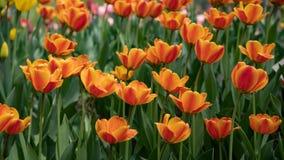 Vele heldere oranje tulpen in het Park op een Zonnige dag royalty-vrije stock foto's