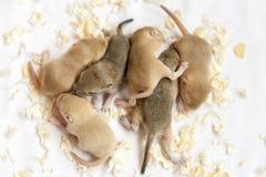 Vele het kleine leuke muizen slapen Nieuw versie herontworpen dollarbankbiljet stock foto