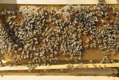 Vele het werk bijen op honingraat Royalty-vrije Stock Foto