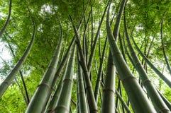 Vele hoge bamboestammen Stock Afbeeldingen