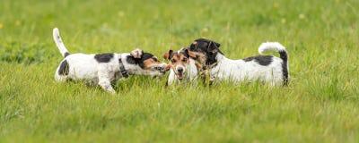 Vele honden lopen en spelen met een bal in een weide - een leuk pak van Jack Russell Terriers stock afbeelding