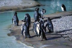 Vele Humboldt-Pinguïnen Stock Foto