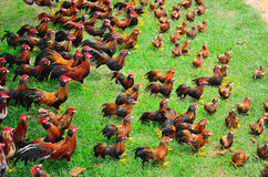 Vele kippen royalty-vrije stock fotografie