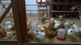 Vele kippen in kippenhuis bij gevogeltelandbouwbedrijf stock video