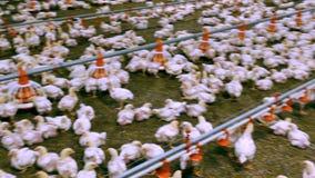 Vele kippen op een gevogeltelandbouwbedrijf stock footage