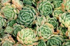 Vele kleine clusters van succulente bladeren stock foto's