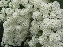 Vele kleine fruitige bloemen Stock Fotografie