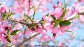 Vele kleine roze bloemen op de takken van de boom Perzikbloemen stock videobeelden