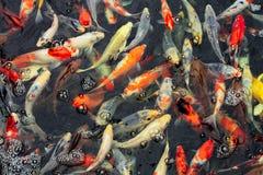 Vele kleuren van karper zwemmen in duidelijk water stock afbeelding