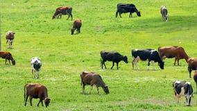 Vele Koeien die op de Zomergebied weiden stock footage