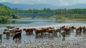 Vele koeien die zich in water in de kleine rivier bevinden stock videobeelden