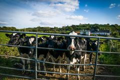 Vele Koeien in gevangenschap royalty-vrije stock fotografie