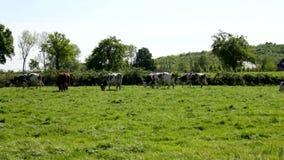 Vele koeien op een grassfield stock video